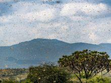 Swarm of desert locusts in Kenya.